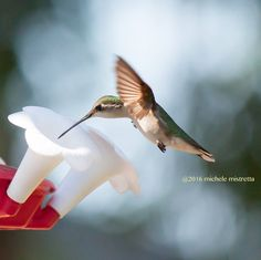 Hummingbird Picture Hummingbird Photography by MicheleMPhotography