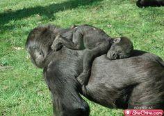 I LOVE gorillas!