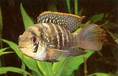28 Best Aequidens images in 2017   Cichlids, Pisces, Fish