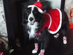 Xmas 2014 Asha The Border Collie Posing in her Xmas Dress and Stockings/Pinterest Adorable Animals#So Gorgeous#Happy