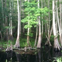 Florida Cypress, Wolf Creek