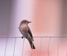 Spotted Flycatcher by sirbio75