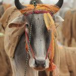 SP leader Zameerullah Khan Launches 'Save the Cow' Campaign in Lucknow