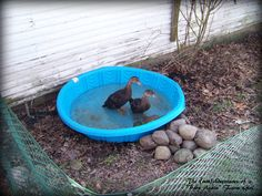 {duck raising transition} Pool with rocks around to help with the mud