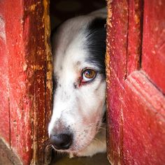 Peek-a-boo Border Collie Cute Puppies, Cute Dogs, Dogs And Puppies, All Dogs, Funny Dogs, Beautiful Dogs, Animals Beautiful, Cute Animals, Lovely Eyes