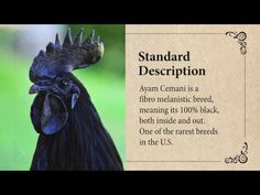 The Indonesian Ayam Cemani chicken, with its unrelenting darkness, is one of the world's most fascinating breeds. It's completely black, inside and out. Poultry Breeds, Backyard Poultry, Pet Chickens, Chicken Breeds, Urban Farming, Mixed Breed, Pet Stuff, Homesteading, Darkness