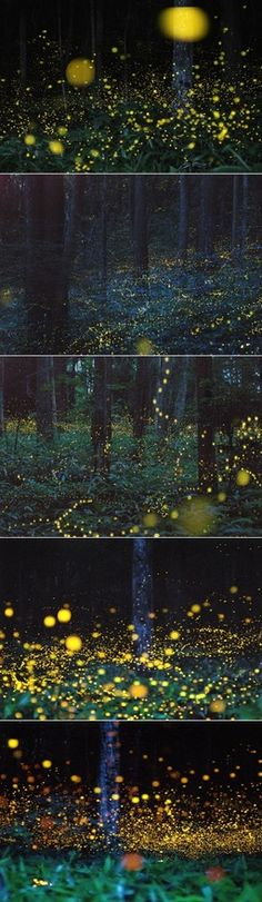This enchanting forest in the Chgoku region of Japan, is the home to gold fireflies that charm the area regularly