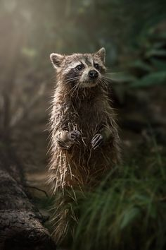 """smithsonianmag: """" Photo of the Day: SWAMP RACOON by Kim Aikawa (Santa Rosa, California, USA); Slidell, Louisiana, USA Submit your best shots to our 14th Annual Photo Contest, open now! """" Beautiful !!! \O/"""