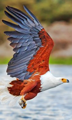Colors are outstanding. Eagle Pictures, Bird Pictures, All Birds, Birds Of Prey, Exotic Birds, Colorful Birds, Beautiful Fish, Animals Beautiful, Aigle Animal