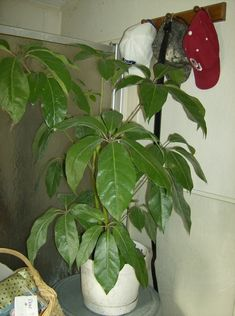 Indoor Trees, Indoor Plants, Trees To Plant, Plant Leaves, Umbrella Tree, Plant Diseases, Tree Care, Incredible Hulk, Design 24