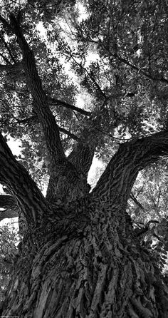 Grand Old Oak Tree Stands Tall at Logan's Point.