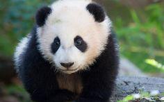 Lataa kuva söpöjä eläimiä, panda, karhut, eläintarha, pieni panda, hauskoja eläimiä