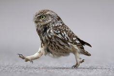Little Owl by ~Albi748 on deviantART