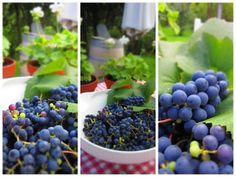 Pikkutalon elämää: Viinirypäleiden sadonkorjuu