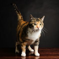 Calico cats are cool, there's no denying that. From their interesting tricolor patterns to their well-known sweet personalities, calico cats have captured the hearts of many people all around the world! So we've put together a list of the many …