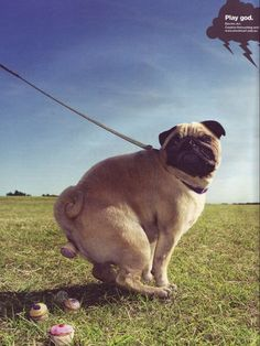 Pugs only bring sweet, beautiful things into this world