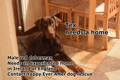 12 Best Dobermans looking for homes in the UK and Europe