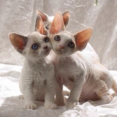 sphynx cat care I Love I Love Cats, Crazy Cats, Cute Cats, Pretty Cats, Beautiful Cats, Kittens Cutest, Cats And Kittens, Devon Rex Kittens, Baby Animals