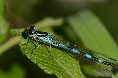 Libelle des Jahres 2013: Speer-Azurjungfer