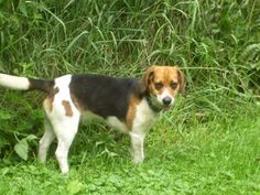 Roxie is an adoptable Beagle Dog in Eaton Rapids, MI. Roxie is a beautiful 3-year-old beagle with big brown eyes. She is a very sweet girl who loves going for walks and being outside, chewing on a bon...
