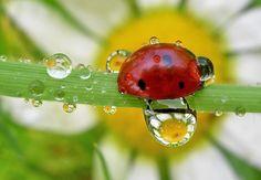 ladybug and dew drops by tugba kiper, via 500px