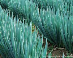 Мобильный LiveInternet Как вырастить хороший урожай лука? 10 секретов ухода за луком | Nina62 - Дневник Nina62 |