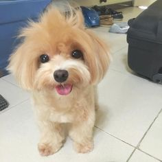 Good afternoon everyone!  this is me after pompom! Smelling sweet and happy! Happy Sunday everyone  :29/5/2015  #buzzfeed #maltipoo #toypoodle #instadaily #犬 #maltese #dog #petfancy #happydogs #barkhappy #bestwoof #instadog #puppylove #furbaby #cutedog #lacyandpaws #doggie by mistythemaltipoo
