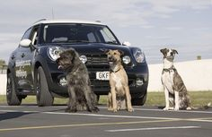 #SPCA #Dogs take to the wheel of a #MINI #Countryman to Drive Adoptions. Three SPCA rescue dogs, Monty, Porter and Ginny, got behind the wheel of a MINI Countryman Cooper S and proved you can teach an old dog new tricks. This world first was shown live on New Zealand's leading current affairs program, Campbell Live, and was intended to raise awareness for the SPCA to help change some common misconceptions about rescue or shelter dogs. http://youtu.be/zIEYNe_eypk