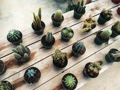 Moody cacti