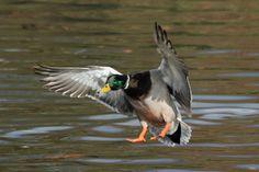 Duck Landing Bird