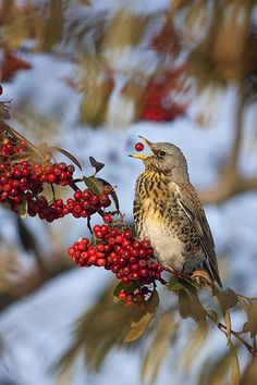 Fieldfare bird feeding on winter berries. Fieldfares are members of the thrush family. Photo by Ben Hall.