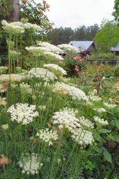 Queen Anne's Lace Flower-- photo is of the flower Queen Anne's Lace in a quiet setting, along side a fence with an old barn in the distance. This really is a beautiful flower and photo.