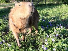After Looking At These Photos You Will DEFINITELY Want A Capybara