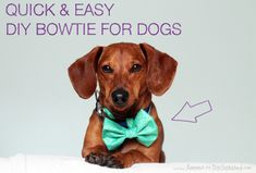 5 Minute No Sew DIY Easter Bowtie for your Dog // Ammo the Dachshund Diy Sewing Projects, Sewing Tutorials, Sewing Patterns, Dog Milk, Easy Diy Gifts, Dog Crafts, Dachshund Love, Dachshund Clothes, Animal Projects