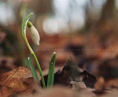 Pölcz Klaudia - kisklau: Hóvirág - Snowdrop