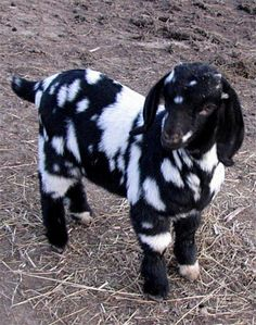 Black and White Spotted / Dappled Buckling from Ave Acres farm I think I will name this little guy Ice Man 2 Slash Spotacular. He sure is a good lookin boy. And a shout out to Ave Acres Tim & Misty Borrowman 2370 N Ave Sorento, IL 62086 or Mini Goats, Cute Goats, Animals And Pets, Funny Animals, Baby Farm Animals, Black Animals, Boer Goats, Cute Little Animals, Tier Fotos