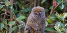 petition: Save the Greater Bamboo Lemur