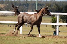 GE Arab rosegrey canter side view by Chunga-Stock on deviantART