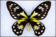 Ornithoptera Victoriae Epiphanes -Female -San Cristobal(Makira) Island, Solomon Islands -(6 in wingspan)