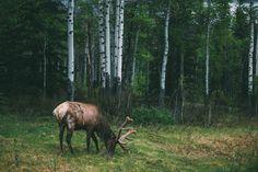 Banff Elk by Kyle Sipple Via Flickr