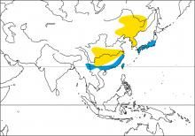 Yellow-billed Grosbeak (Eophona migratoria)