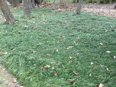 Divisions may be taken from this lush planting of mondo grass