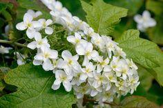 Hydrangea quercifolia-Oakleaf hydrangea