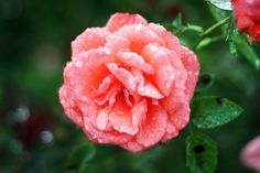 Pictures Of Raindrops On Roses | Raindrops on Roses | Flickr - Photo Sharing!