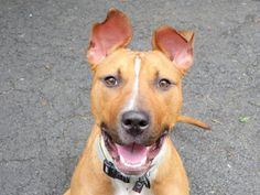 KATNISS – A1035710 | Help us Save NYC AC&C Shelter Dogs.  SWEET KATTNISS NEEDS SAVING NOW PLEASE !! ON KILL LIST MY DIE BETWEEN 12pm to 6:30 pm PLEASE HELP AND SARE PIN PLEDGE EARLY AND FAST PLEASE .  Too many died yesterday way too many !!