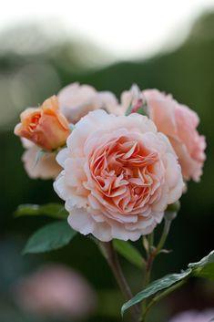 'Charles Austin' | Shrub. English Rose Collection. David C. H. Austin, 1973| Flickr - © Yoko Nekonomania