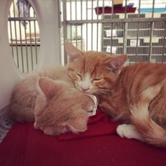 Ace (A811301) and Peanut (A811297) are fast asleep, dreaming of being adopted into a forever family. If you've been dreaming of adopting a cute kitten (or two!) into your home, visit these fellas today at our Campus Adoption Center!