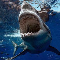 No automatic alt text available. Shark Pictures, Shark Photos, Shark Images, Shark Week, Hai Tattoo, Karten Tattoos, Shark Bait, Shark Tattoos, Orcas