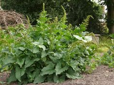 Good King Henry (Chenopodium bonus-henricus) * Some caution is advised; this plant contains some saponins and oxalic acid. Eaten in reasonable amounts, it should pose no threat. Cooking helps reduce the oxalic acid content.