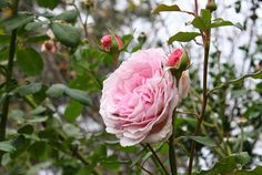 'James Galway' | Roses and Other Gardening Joys: After the Freeze